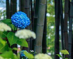 竹林のそばで咲くアジサイの花