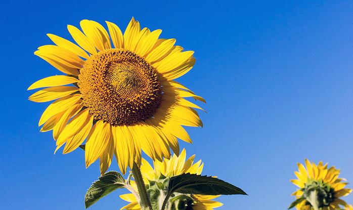 青空の下の向日葵