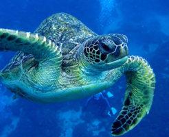海中を泳いでいるウミガメ